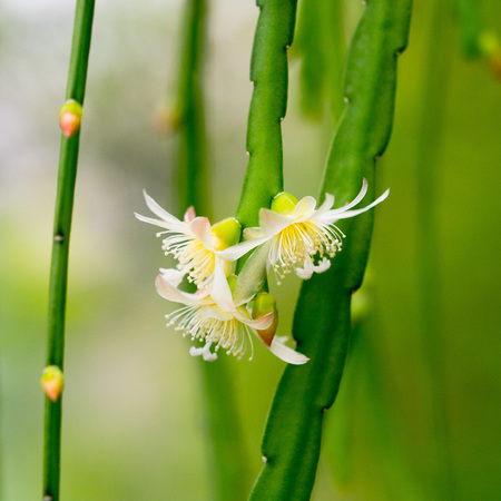 white flowers of the cactus with hanging branches