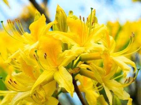 Yellow bright flowers of a rhododendron on a branch, bud of Azalea on blue background Stock Photo