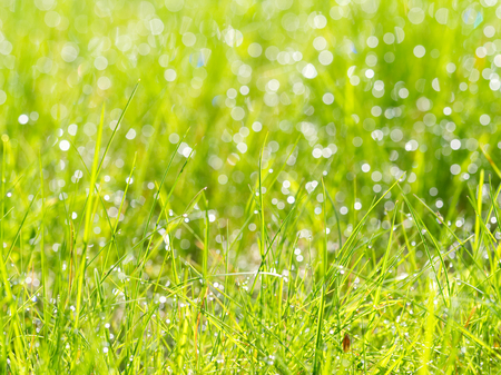 meadow grass with dew drops in sunshine, blurred background, after rain, closeup