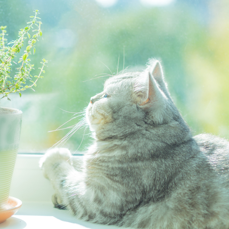 beautiful striped cat basking in the sun and looking out the window at the Sunny weather, a good day, bright background. 版權商用圖片