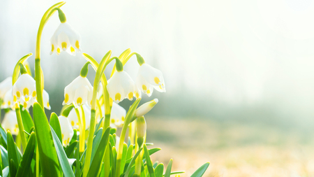 The first spring flowers, snowdrops, a symbol of nature awakening in the sunlight. Light toning, brightening. Long width banner