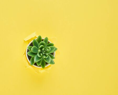 A ripped hole in yellow textured background, cactus flower pot, concept of rupted paper with copy space. Long width side banner. Flat lay Stockfoto