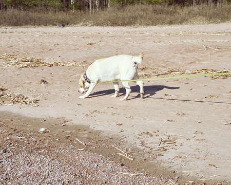 Walking dog onbeach in fresh air in spring. The Retriever on leash goes for a walk, owner breathes fresh air