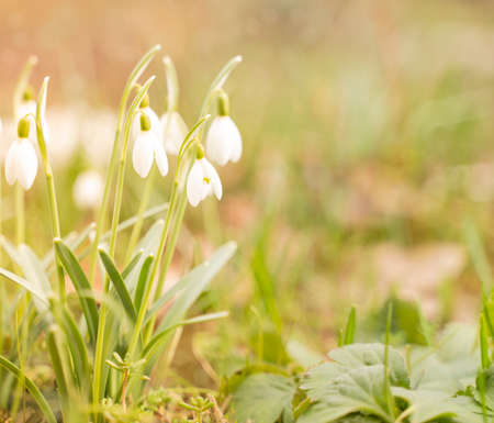 First spring flowers, snowdrops, a symbol of nature awakening 免版税图像