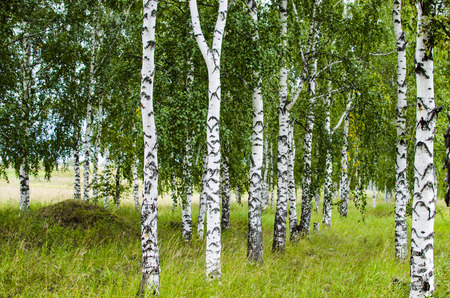 birchwood: birchwood, birches in the summer