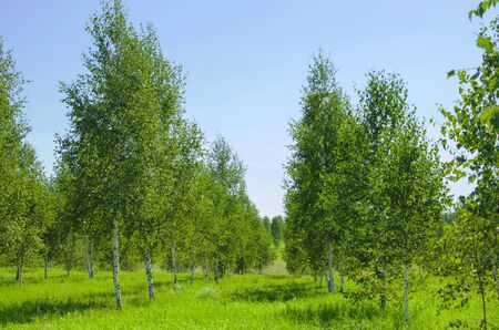 birches: landscape birches young