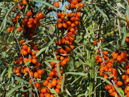 seabuckthorn: sea-buckthorn berry