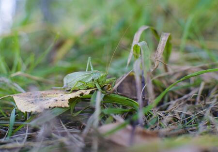 insect on leaf: Locust insect sits on a leaf