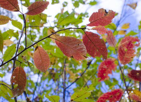 hintergrund himmel: Herbstlaub im Hintergrund Himmel, rot