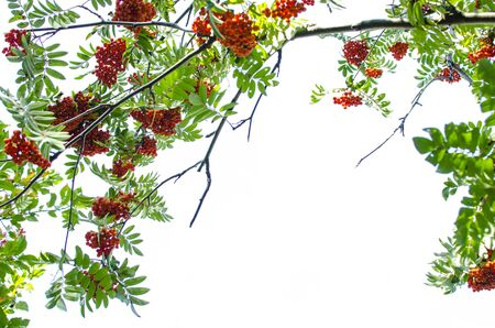 ash berry: mountain ash berry, frame, red, ripe