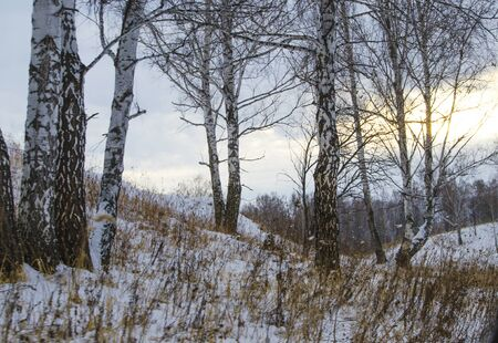 a slope: winter landscape of a birch on a slope