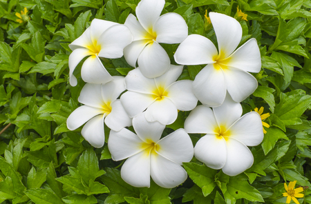 White flowers of a pakhipodium with the yellow center against white flowers of a pakhipodium with the yellow center against stock photo picture and royalty free image image 50302225 mightylinksfo