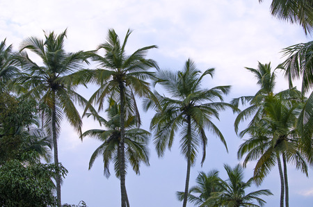 against white: trees tropical palm trees against white clouds Stock Photo