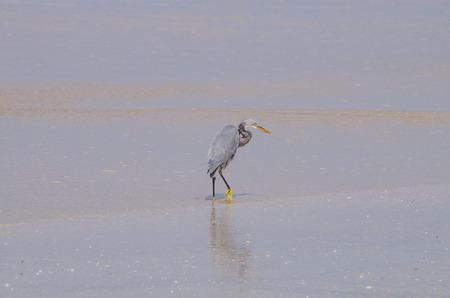 tropica: bird gray heron tropica