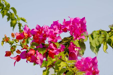 tropical shrub: bugenvilley tropical plant of Asia a red flower on a blue background
