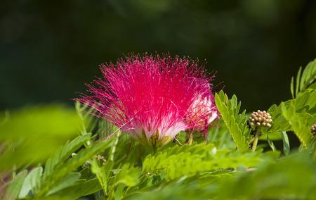 tropics: Bombaks flowers tropics Asia