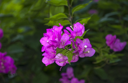 tropical shrub: bugenvilley violet flowers on a dark green background
