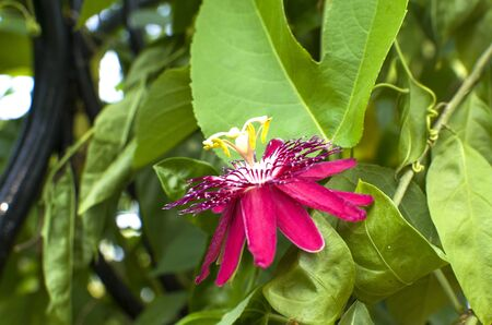 passionflower: beautiful flower the Passionflower Stock Photo