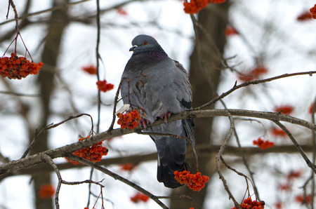 ash berry: bird a blue rock pigeon on a mountain ash branch Stock Photo