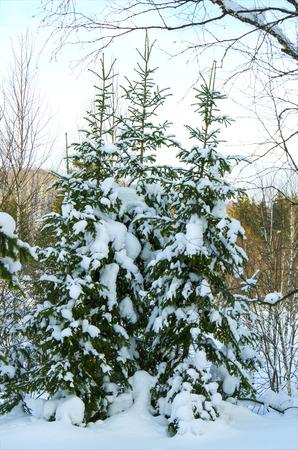taiga: beautiful winter landscape of the Siberian taiga Stock Photo