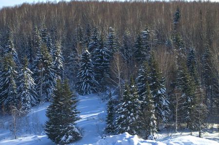 the taiga: taiga landscape in sibire in the winter Stock Photo