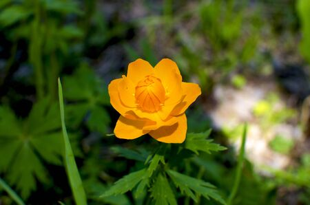 frying: flowers of Siberia of Frying orange beautiful Stock Photo
