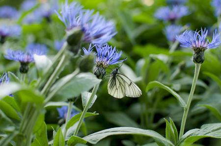 fiordaliso: Erba un fiordaliso prato di fiori