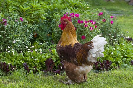 motley: Poultry rooster thoroughbred motley beautiful Stock Photo