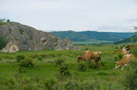 are grazed: pets of a cow are grazed on a meadow near mountains