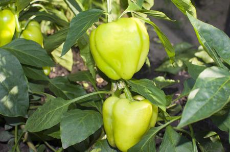 bush pepper: vegetables pepper sweet green on a bush grows