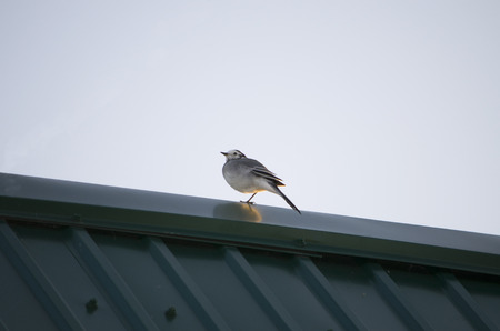 sits: the bird a wagtail sits on a roof
