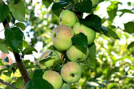 siberian: fruit apples the apple-trees Siberian on branches