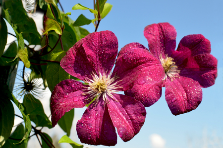 flowers beautiful garden clematis blossoming Stock Photo