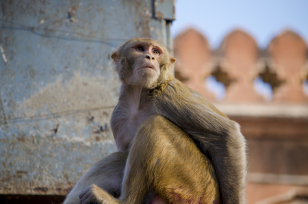 primacy: The wild animal a monkey a macaque in India