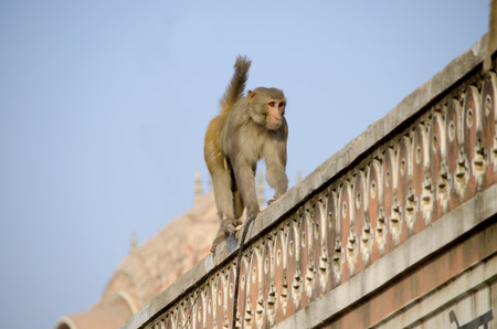 macaque: The wild animal a monkey a macaque in India