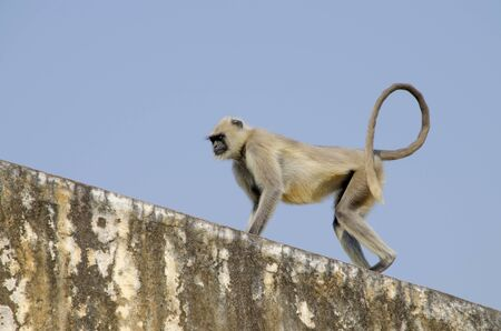 Southern Plains Gray Langur a monkey in India Jaipur