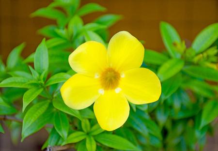 Rukaththana flower in Sri Lanka