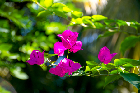 Flowers of Asia Pink Bougainville glabra with leaves 版權商用圖片
