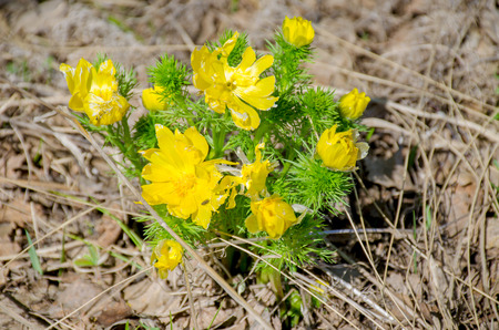 the beautiful spring yellow flower in Sibira Adonis spring