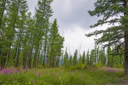 Taiga with medicinal plant willow-herb in Russia