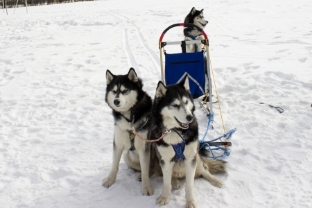 hinder: Team huskies  Two dogs sit on snow  One dog costs on hinder legs in sledge  Stock Photo