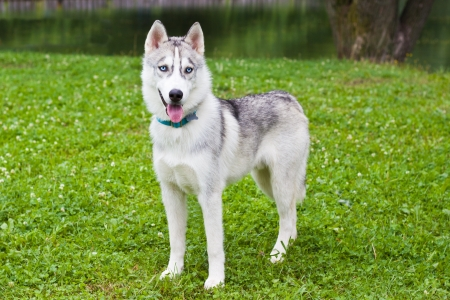 The puppy grey husky  standing  on a grass photo