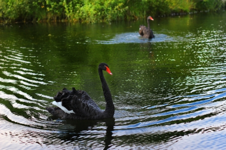 The black swan floats on the lake photo