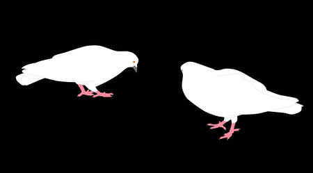 Couple of a white pigeons Vector