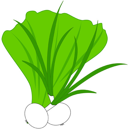 Vector illustration, leaf lettuce and green onion