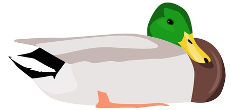 cartoon mallard sitting Vector