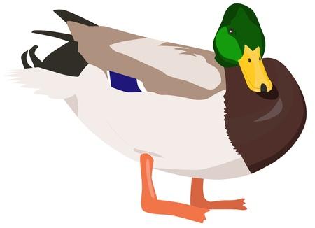 Wild duck Illustration