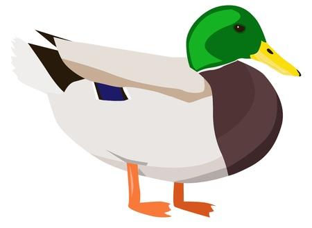 drake: Wild duck Illustration