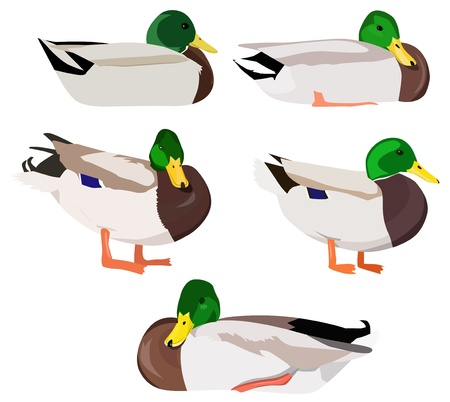 Wild ducks in various poses 向量圖像