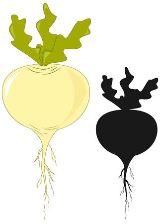 rzepa: Drawn warzyw - rzepa i czarna sylwetka. ilustracji wektorowych